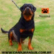 Rottweiler - Nanna