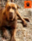 cane corso italiano vermelho cervo ELECT