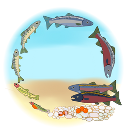 coho life cycle with background.png