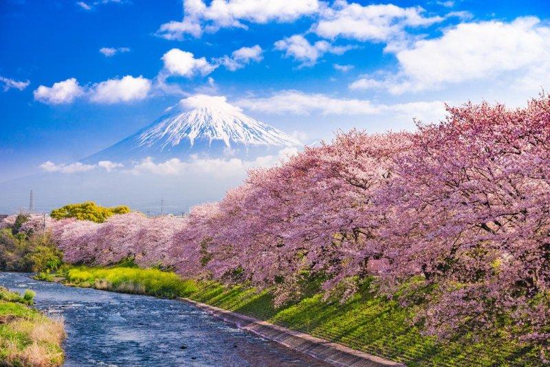 cerezos-en-flor-en-japon.jpg
