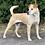 Thumbnail: Laika - Kruising Labrador