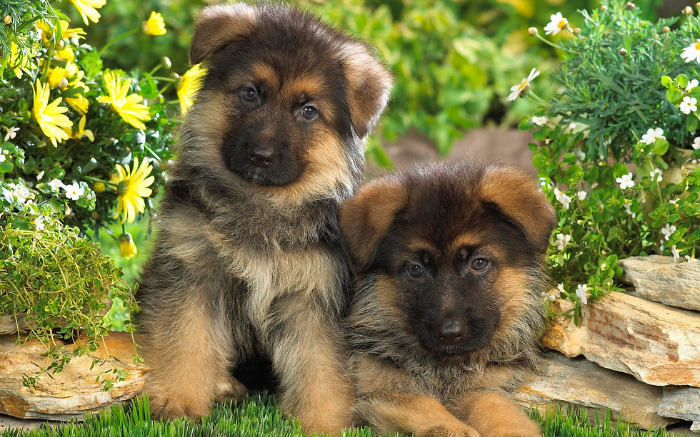 cuccioli di cane pastore tedesco