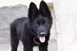 german-shepherd-1598329_1280