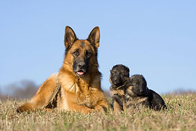 cane pastore adulto femmina pelo corto
