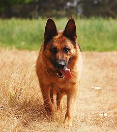 cane pastore adulto femmina