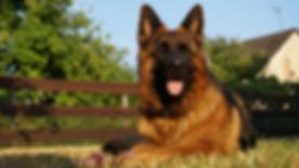 schafer-dog-3956938_1920.jpg