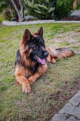 cane pastore tedesco adulto maschio pelo lungo