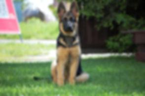 german-shepherd-411613_1920.jpg