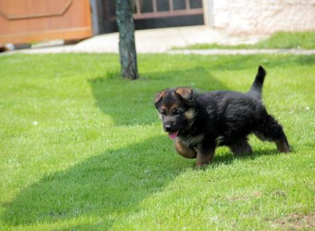 Suggerimenti per l'arrivo di un nuovo pastore tedesco cucciolo.