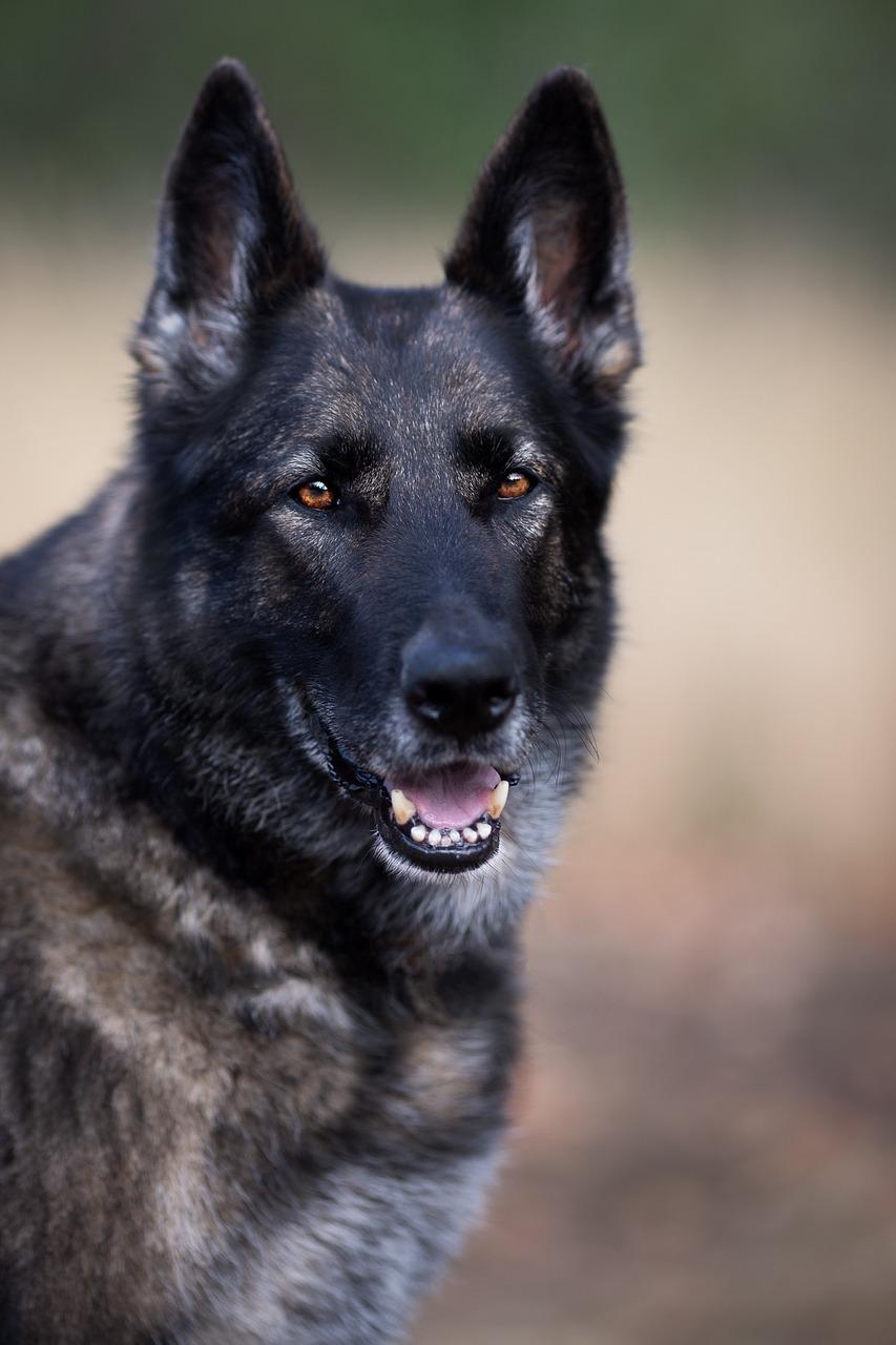 german-shepherd-3609304_1280