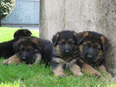 Arriva un cucciolo di pastore tedesco - parte 2
