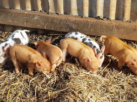 New Piglets Available Now!