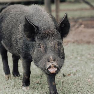 'Jelly' Boar