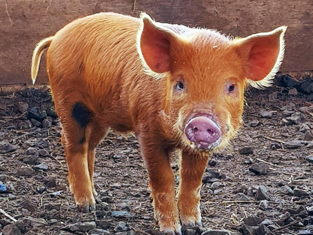 Keeping your miniature pig healthy