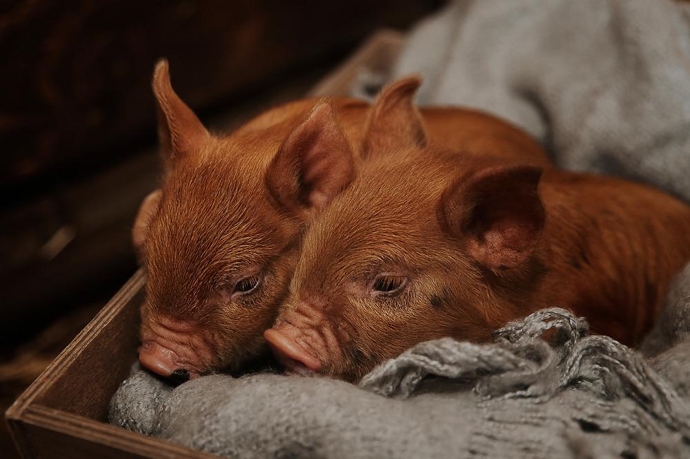 New piglets at Petite Piggies