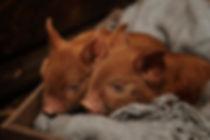 Petite Pigies Miniature pigs piglets.jpg