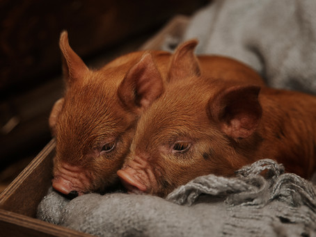 Making a Special Home for Your New Piglet