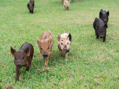 Does my miniature pig need to be with another pig?