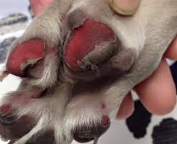 Darker than usual pads, blistering, and pieces of pads missing are all signs of paw-burn