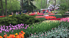 Keukenhof Tulips: A Must-See in Holland