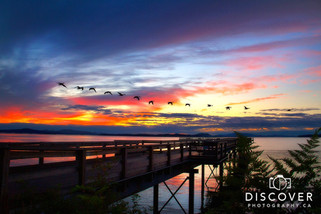 Sidney pier, flock of geese