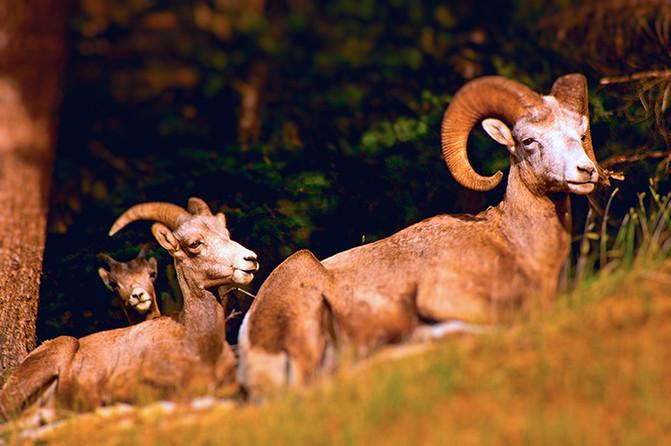 Big Horn Sheep family
