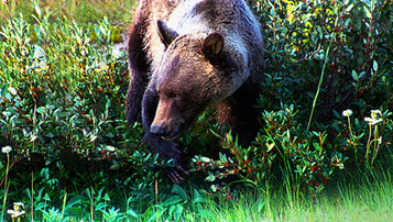 grizzly_bear_berries01_stretched_900px.j