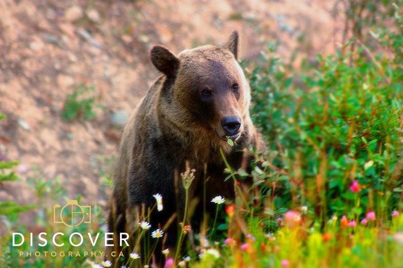Grizzly Bear, near Lake Louise
