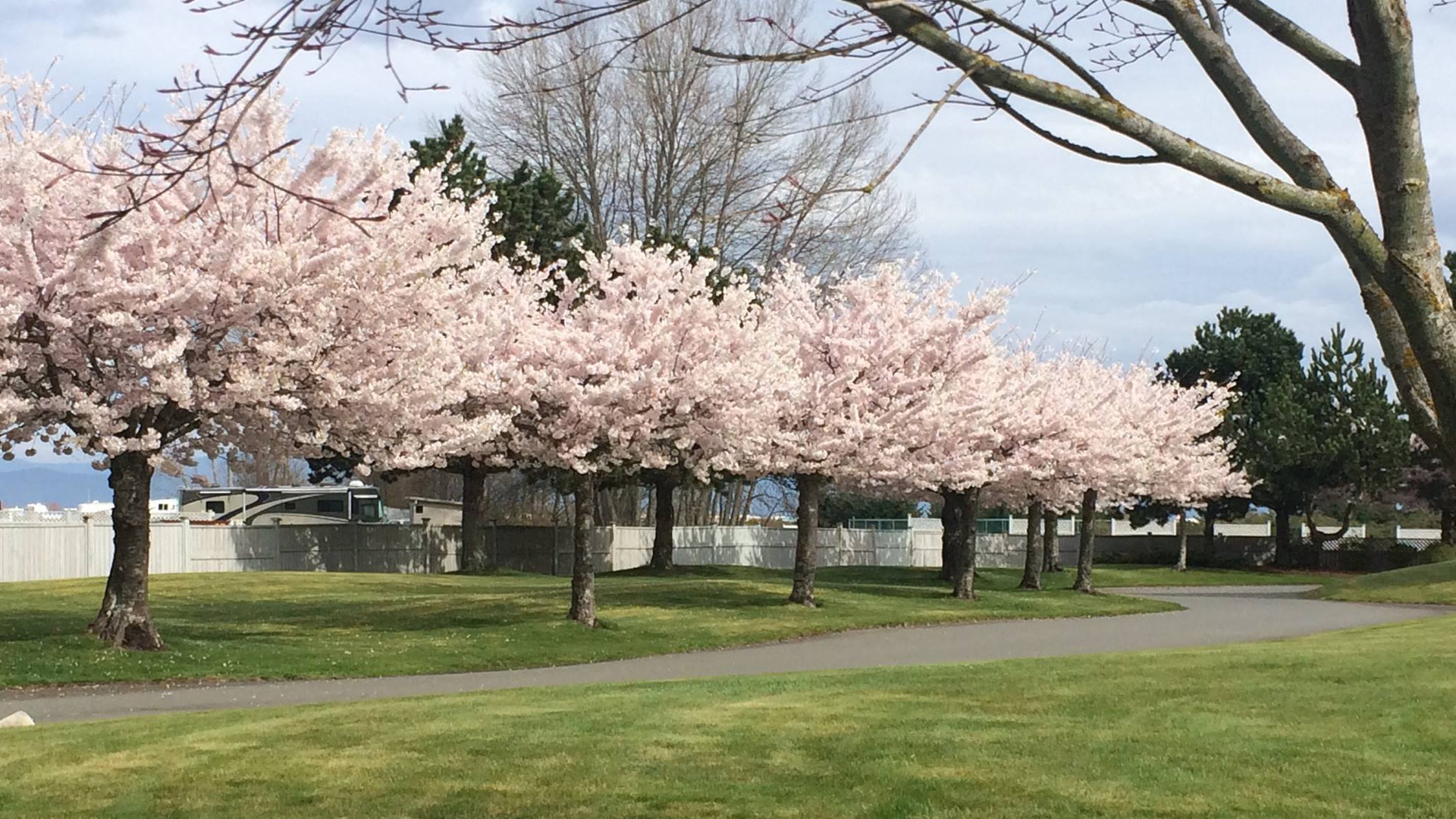 cherry_trees_Surfside_rv-park-vancouver-