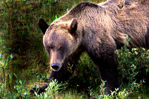 grizzly bear, Banff Park