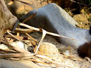 """Wenn die europäischen Arten """"müde"""" werden, werden die kleinen Ägyptischen Landschildkröten munter"""