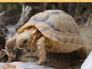 Die Ägyptische Landschildkröte (Testudo kleinmanni) - ein neues Buch am Markt