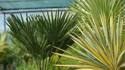 Bloemen Trachycarpus