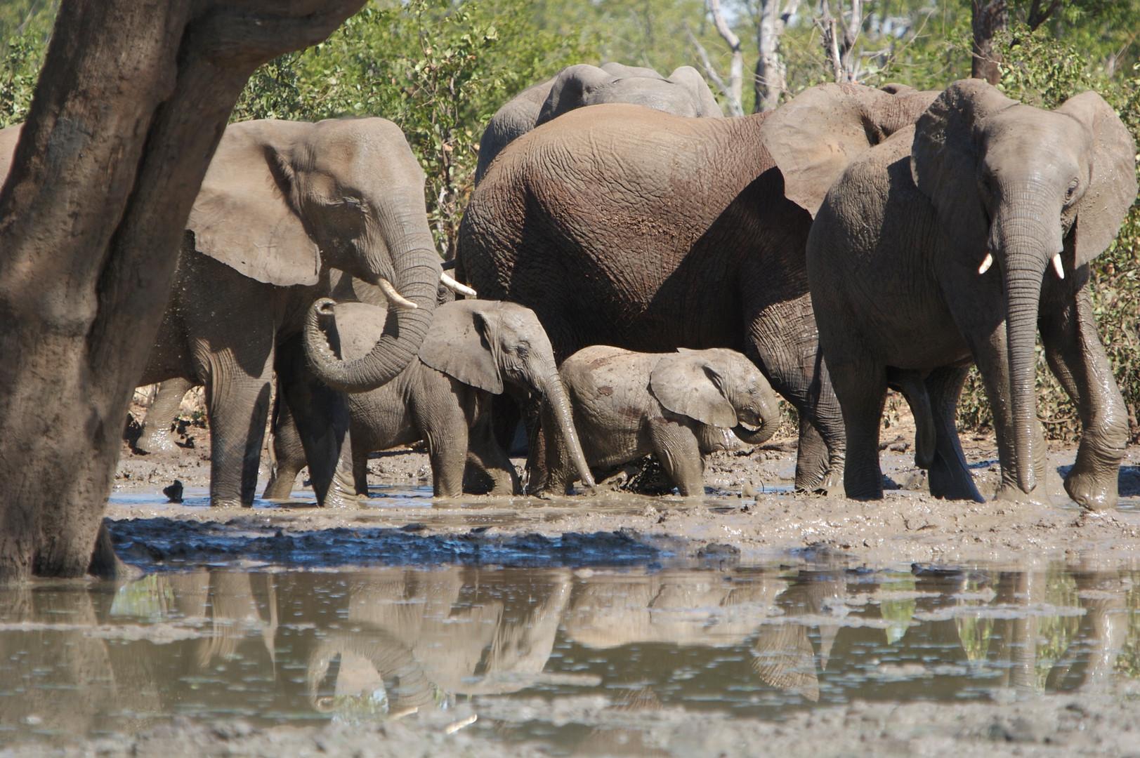 Elephants at Malilangwe, Zimbabwe