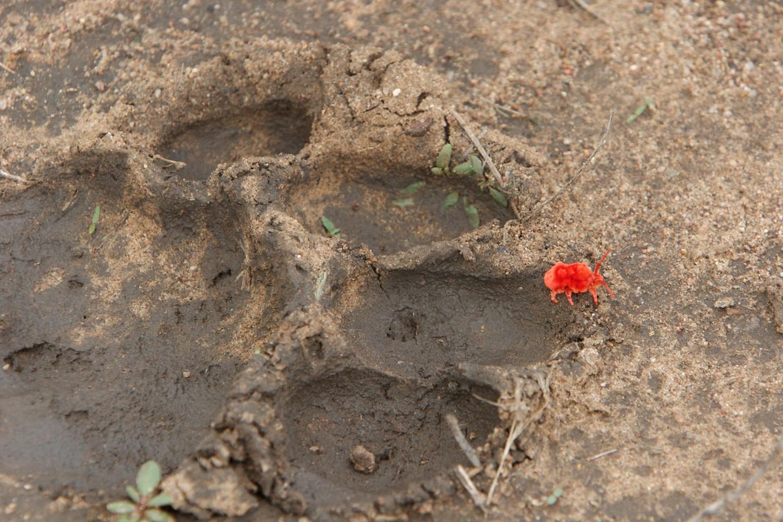 Lion print with velvet mite