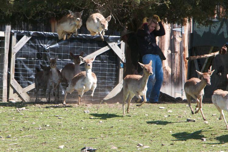 Rounding up deer -- dangerous business
