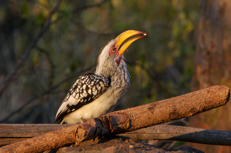 Yellow hornbill, Malilangwe
