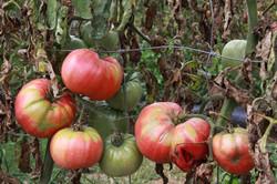 Heirloom Tomatoes, Summer 2010