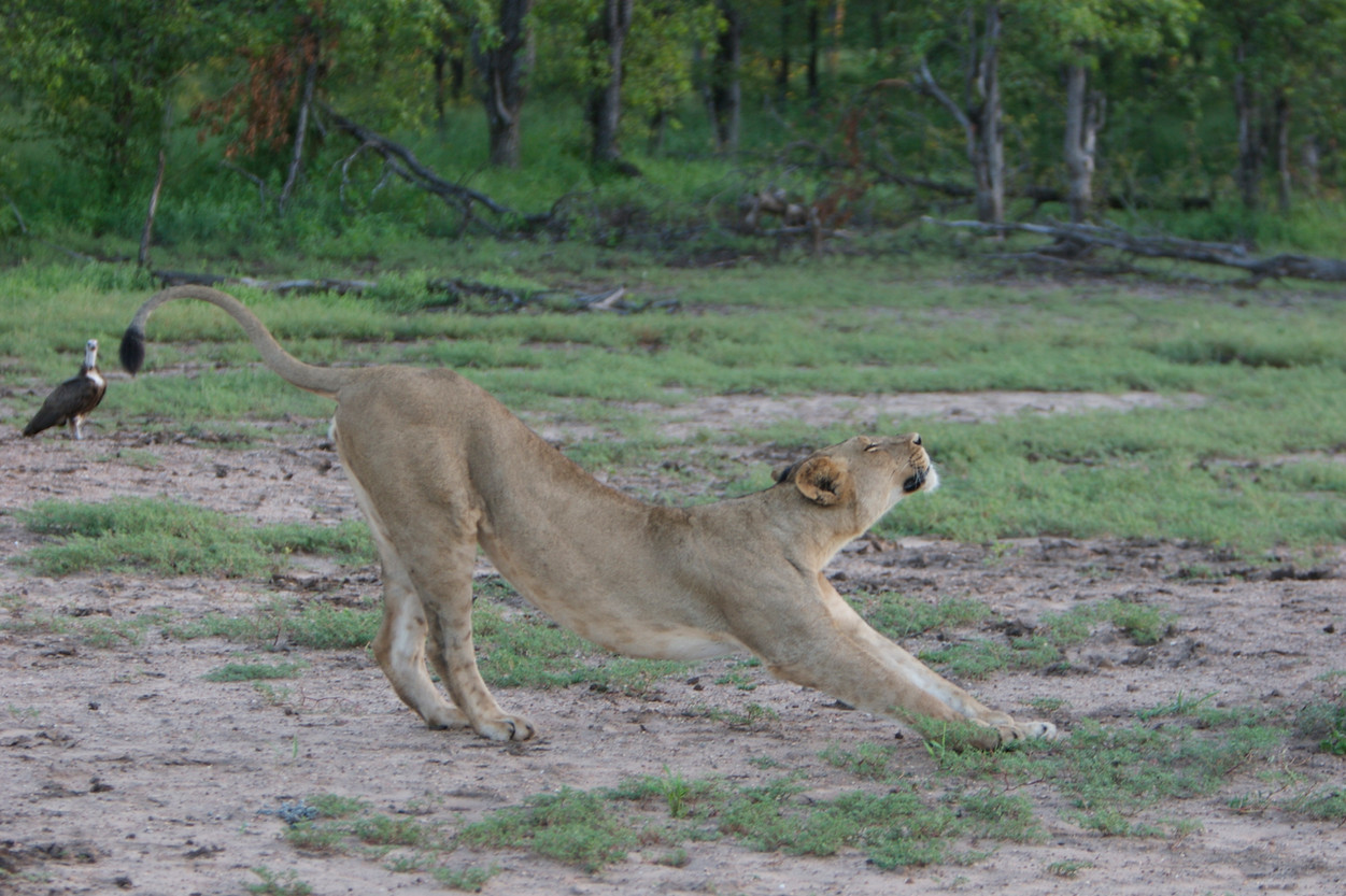 "Lioness performs a yoga ""down dog."""