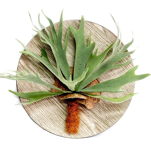 Staghorn Wall Hanging 33cm