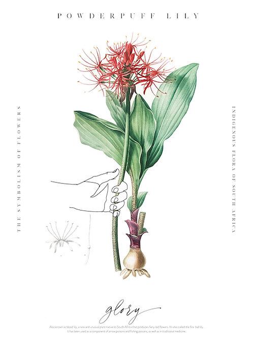 Flora 21 Powderpuff Lilly Art Print A3