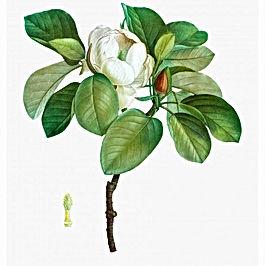 Magnolia1-1000x1000.jpg