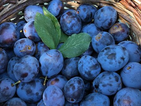 Unsere Zwetschgen sind reif! Wir haben viele reife und schöne Früchte. Das kg verkaufen wir für 3.-