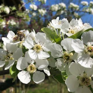 Birnenbäume in voller Blüte