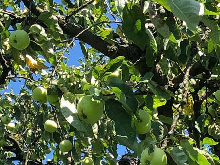 Zwetschgen, Pflaumen, Äpfel und Birnen