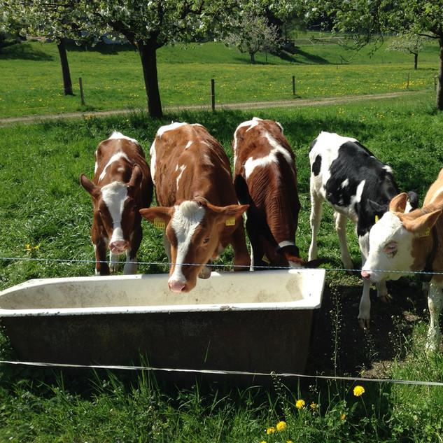 Kälber im Sommer auf der Weide: Melissa, Soraya, Alaska, Fiesta und Anemone