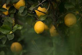 Citrons de Menton maison du citron