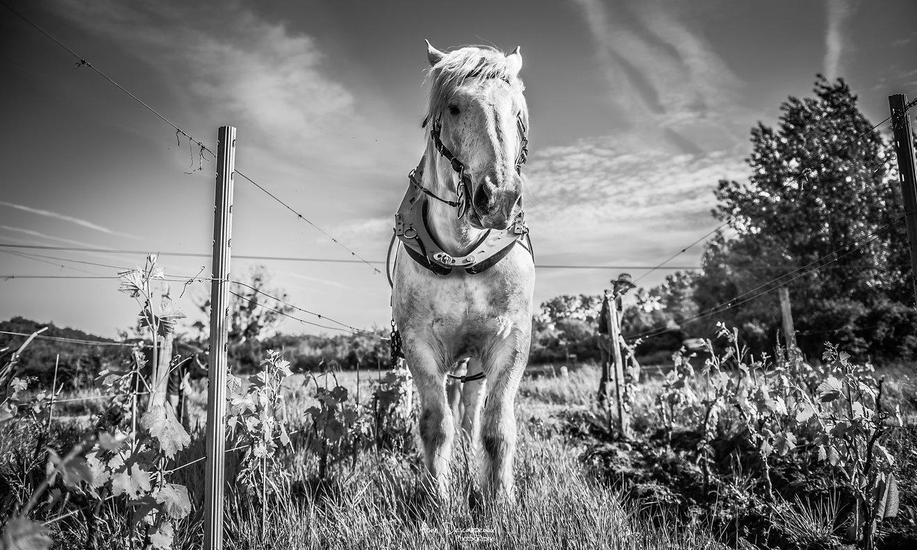 Désherbage avec cheval