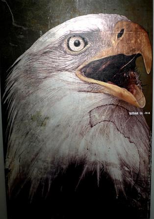 Weißkopfseeadler_1