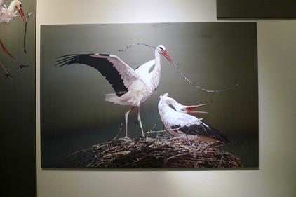 Storchenflug Nestbau